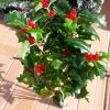 Artificial, 40cm Large Holly and Berry Bush Green, Ideal for Christmas, Weddings, Graves and Home, Min Order on this Item