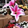 Artificial 66cm Lily Spray, 2 Heads 1 Bud, Pink & Ivory, Ideal for Christmas, Weddings, Graves and Home, Min Order on this Item